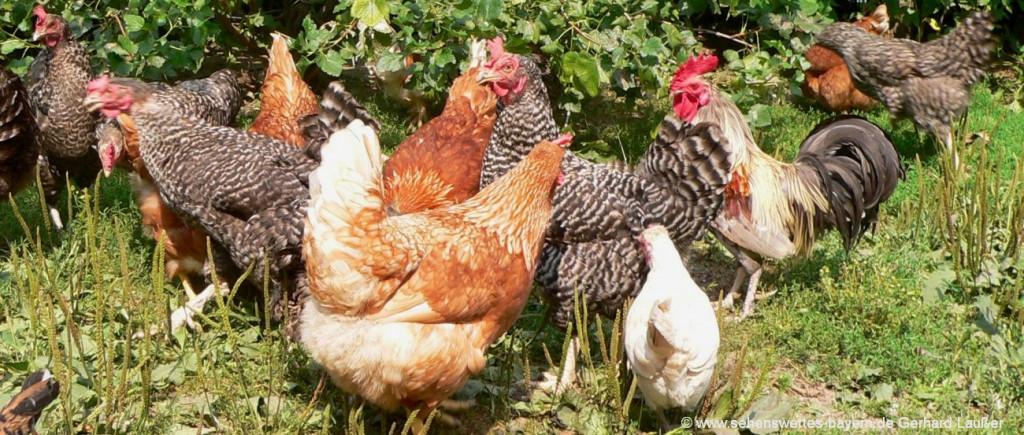Bayerischer Wald Bauernhofurlaub in Bayern mit Hühner